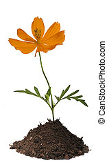 Orange flower in soil isolated with clipping path