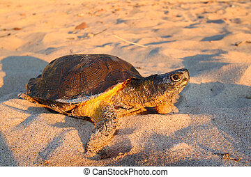Wood Turtle (Glyptemys insculpta) - Female Wood Turtle...