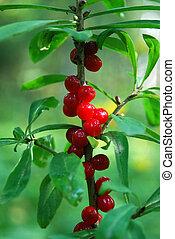 spurge flax Daphne mezereum - venomous plant bush with ruddy...
