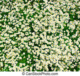 white chamomiles on a green meadow