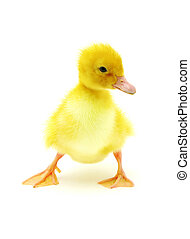 duck on a white