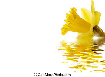 Daffodil emerging - A daffodil isolated on white reflected...