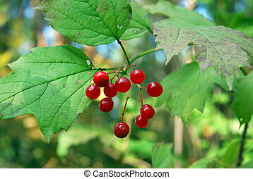 arrowwood (Viburnum) - red-ripe berries of arrowwood