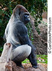 Big Gorilla - a big gorilla silver back male in the zoo