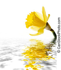 Daffodil reflected - A daffodil isolated on white reflected...