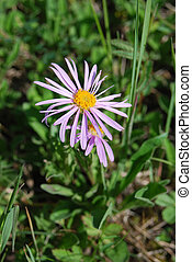 Alpine aster Aster alpinus - wild aster in the grass