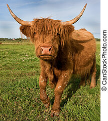 "Galloping cow of the ""Scottish Highland"" breed."