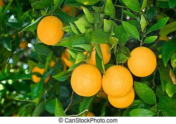Orange tree - Fresh, ripe organic oranges hanging on an...