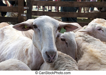Sheep shearing - Flock of sheared sheep just after been...