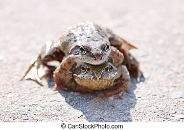 mating frogs - frogs mate on the pavement on a sunny day
