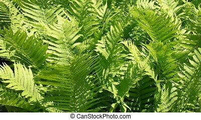 Fern - green fern
