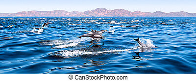 Dolphins Swimming and Jumping - A large herd of common...