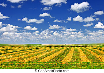 Wheat farm field at harvest - Harvested wheat on farm field...