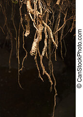 Roots - Close up of roots of tree with dark background