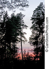 Silhouettes of pine trees in a forest at sunset