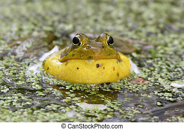Green Frog In A Pond - Green Frog Rana clamitans calling in...