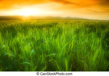 Golden sun shining on a green wheat field in Northern...