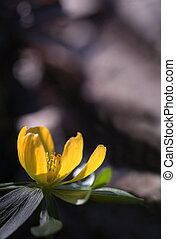Winter aconite - Close up of yellow winter aconite