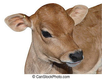 Young Jersey Calf isolated with clipping path