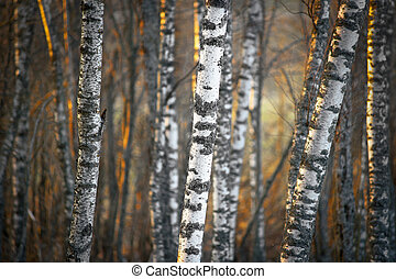Birch trees in evening light - Bare birch trees at sunset in...