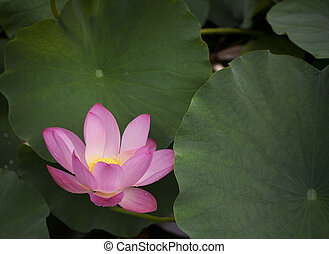 Lotus flower - Close up of lotus flower in a pond