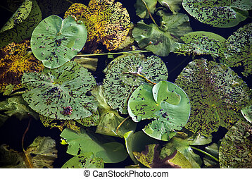 Water lily leaves - Leaves of water lilies in a pond