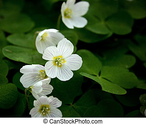 Woodsorrel - Close up of a few white woodsorrel