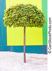 Maple tree - maple tree against multi colored wooden fence