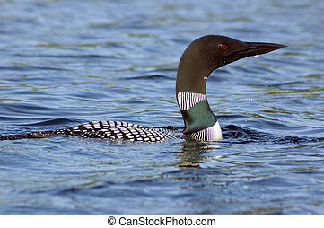 Common loon in blue water of north lake. Immer gavia