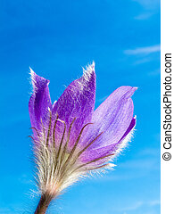 Pasque Flower close-up against blue sky - Blooming Pasque...