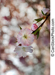 Cherry flowers - Close up of pink cherry flowers in spring