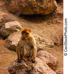 Berber monkey sitting on a rock