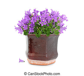 Purple flowers in pot - Purple campanula flower in brown...