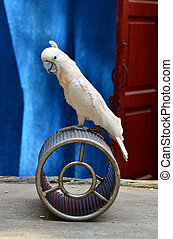 Parrot in circus - White parrot performance in chinese...