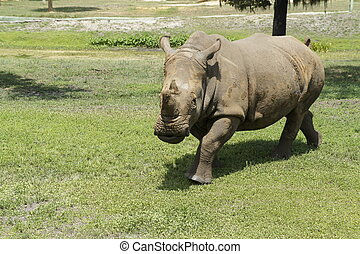 Rhino - Picture of a Rhinoceraus