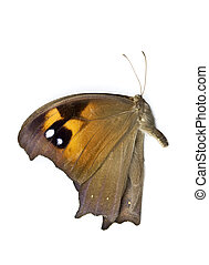 Butterfly - Beautiful Australian butterfly with brown, clack...