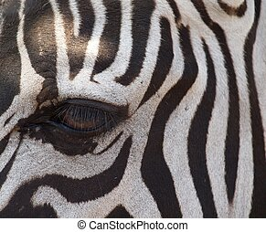 Grant's zebra - Eye of the Grant's zebra