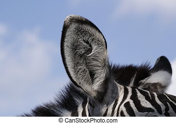 Grant's zebra - Ears of the Grant's zebra