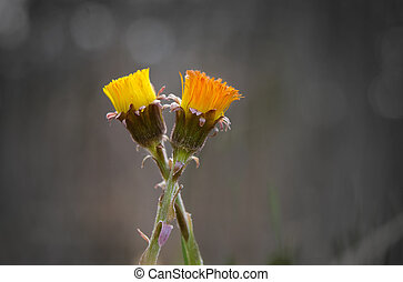 Close up of wo tussilago in different bright shades close...