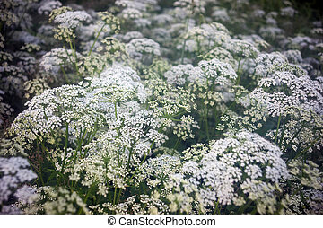 Cow parsley flowers - Field covered by white cow parsley...