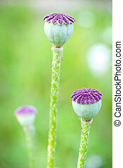 Poppy seed capsule - Close up of dry poppy seed capsule