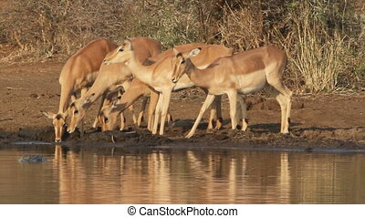 Impala antelopes drinking - A group of Impala antelopes...