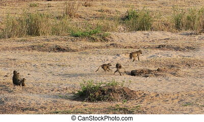 Chacma baboons playing