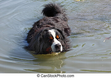 Bernese mountain dog beautiful swimming in the lake water (bouvier nernois)