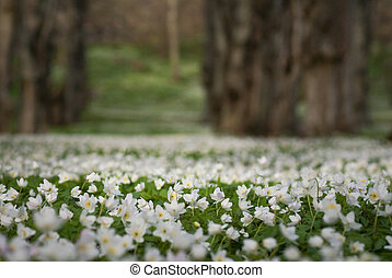 Meadow covered in wood anemone - Low angle view of a field...