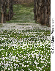 Field with Anemone Nemorosa - park area covered in wood...