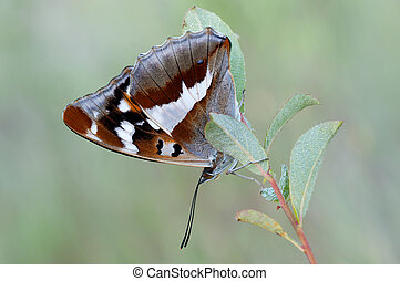 Purple Emperor - macro of a Purple Emperor butterfly