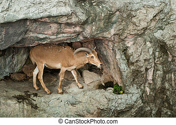 brown mountain goat on stone background