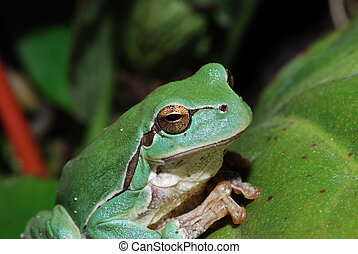 close up green frog - close up of a little green frog sits...