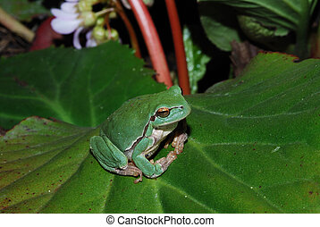 frog sits comfortably on bloom leaf - littel green frog sits...